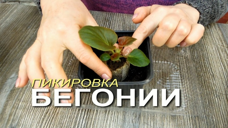 БЕГОНИИ 50 ДНЕЙ Пора делать ПИКИРОВКУ Советы от ЗЕЛЕНОГО ОГОРОДА