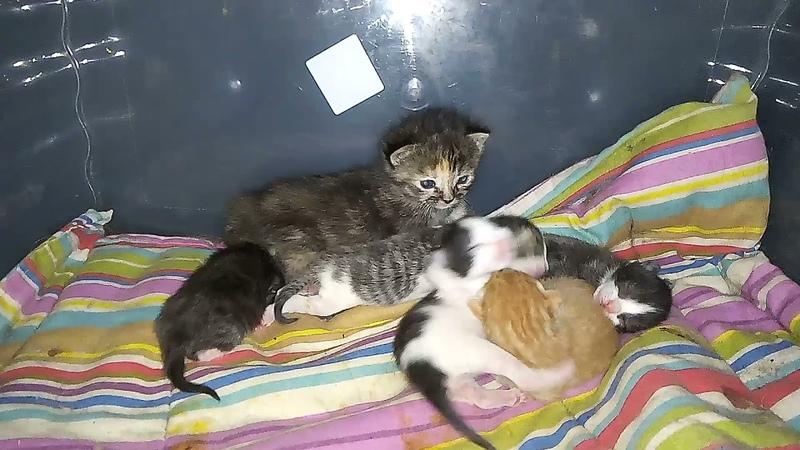 новорожденные котята и их 2х недельная приёмная сестра