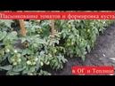 Пасынкование томатов и правильная формировка куста по их типу сорта