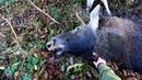 Охота 275 загонная на лося, точный выстрел