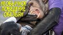 СМОТРЕТЬ ВСЕМ - Необычное поведение обезьян Приколы 2020 с шимпанзе Смешные животные 2020