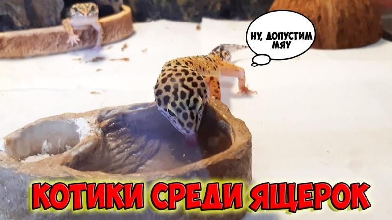 Мир Труд Мяу! Леопардовый геккон, пьет воду как котик. Эублефар лакает водичку