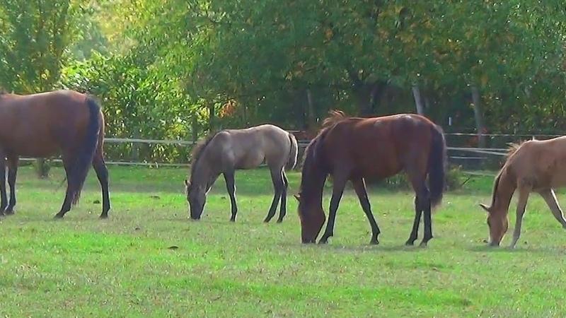 Лошади Германии, Ангермунд (Angermund)Животные, животный мир, Аnimals,Tiere