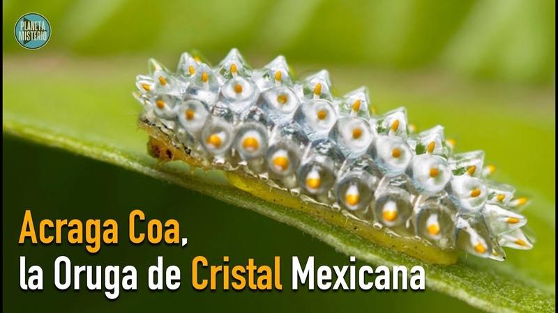 Acraga coa la oruga de cristal mexicana