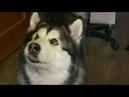 Когалымчане поделились со зрителями своей гордостью - поющей собакой-блогером