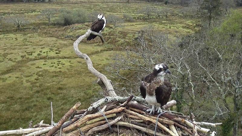 Bywyd Gwyllt Glaslyn Wildlife - Ffrwd Byw Live Stream