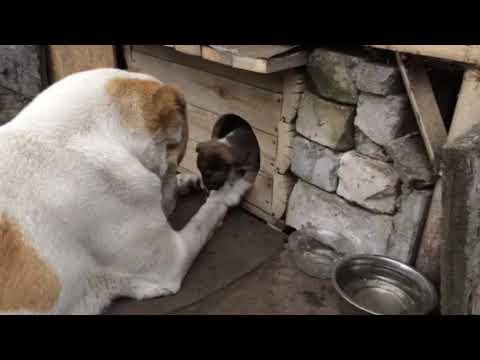 Алабай Alabai купили щенка а вырос медведь Самое доброе домашнее животное Каменское 03 03 2020