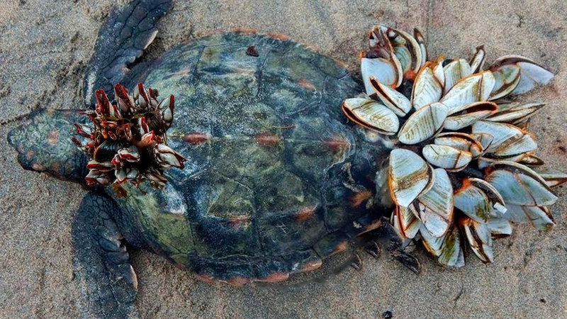 Паразиты чуть не съели бедное животное но помощь человека дала второй шанс этой черепахе
