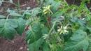 Ещё раз о пасынковании детерминантных томатов.