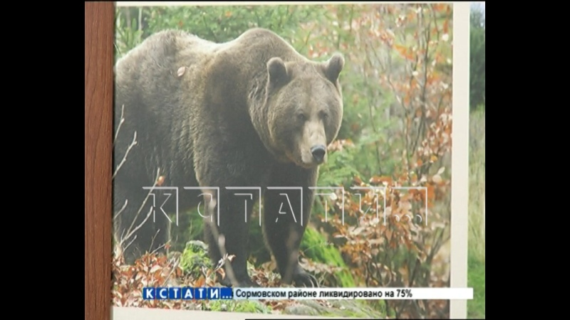 Медведь напавший на человека в Семенове объявлен в розыск