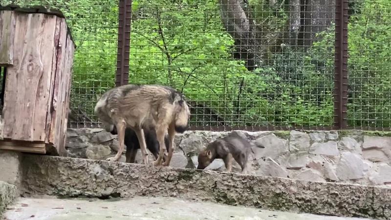 Храбрый волчонок Зоопарк СКАЗКА