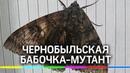 Огромную бабочку-мутанта нашли в Чернобыле. Комментарии энтомологов