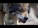 Волк - это вам не собака. Бойцовского пса решили испытать против серого хищника..