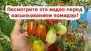 Пасынкование томатов. Помидоры без пасынкования
