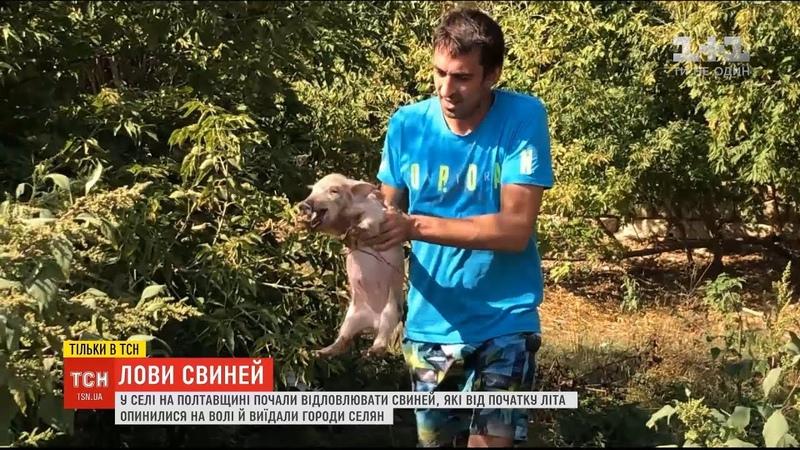 У селі на Полтавщині почали відлов свиней, які від початку літа опинилися на волі